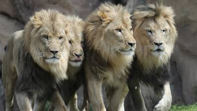 Coronavirus: 11 African lions at Denver Zoo test positive for COVID-19